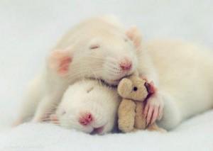 rats-rats-rats-39099071106