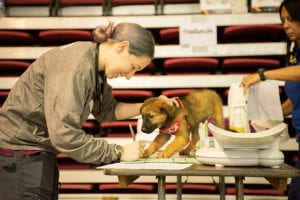 Dr. Mackenzie Gallegos ('19 MSMP intern) completes a puppy's medical chart at a Spayathon for Puerto Rico clinic.