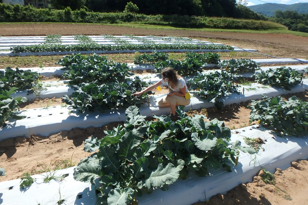 Evaluating broccoli crowns in North Carolina Quality trials