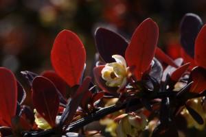 Flower of Japanese Barberry (Berberis thunbergii)