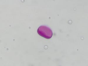 Sisyrinchium1