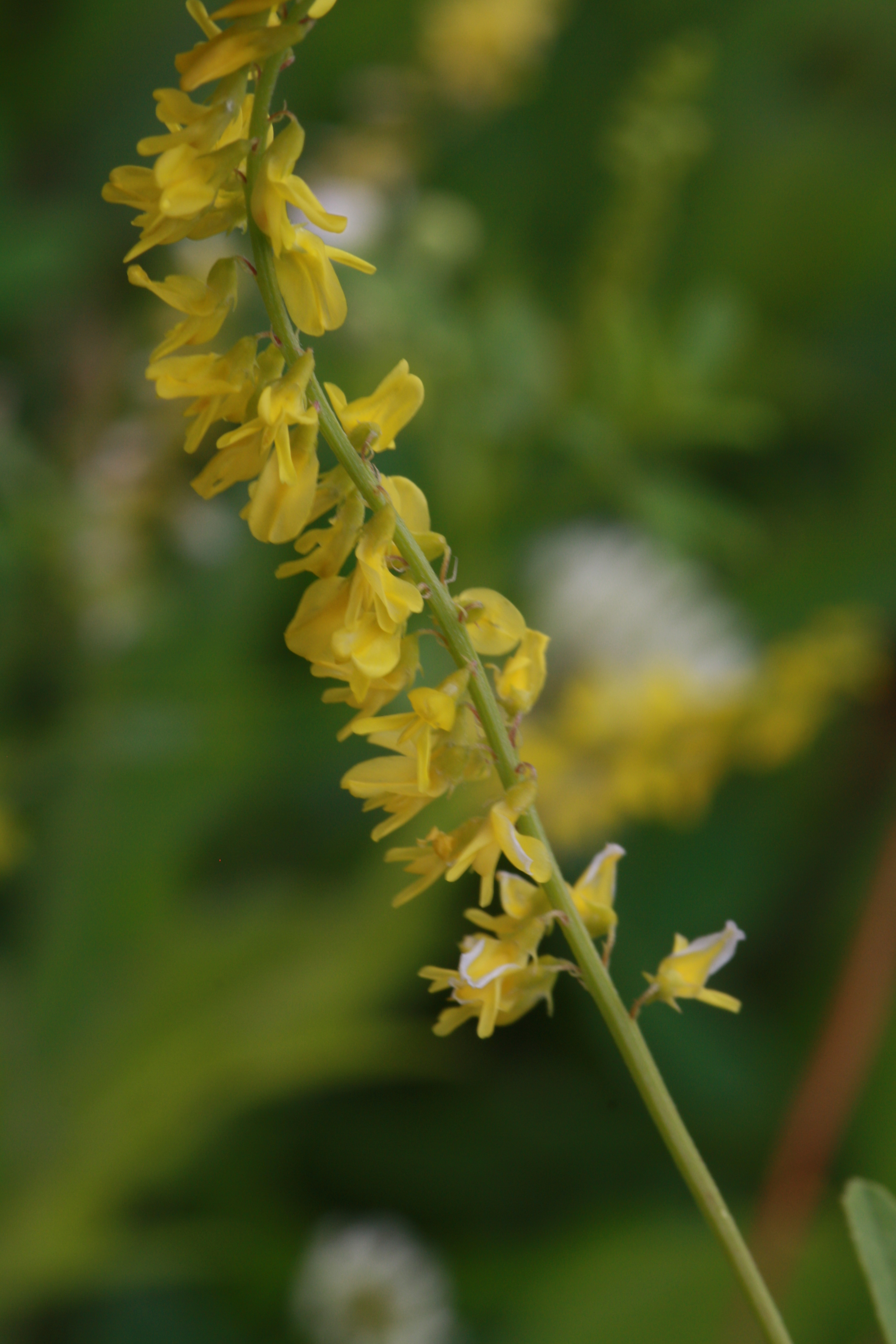 Yellow Sweet Clover Melilotus Officinalis Pollen Grains Reference