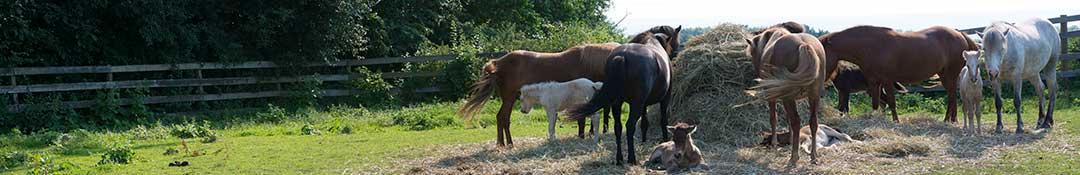 Horses eating hay in summer