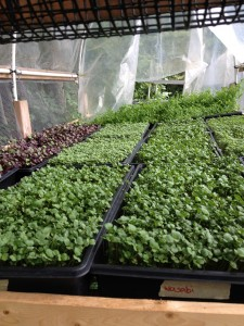Microgreens. Photos by Brenda Sullivan