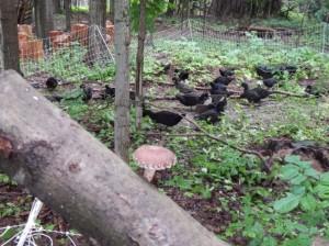 A flock of Cayuga mallards.
