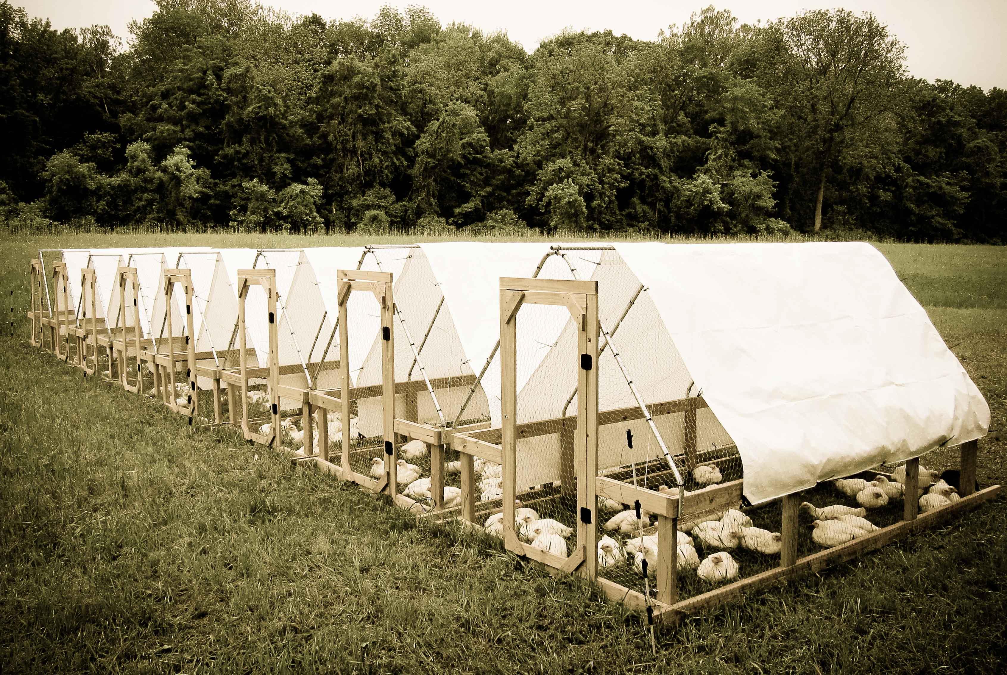mail order chicks | cornell small farms program