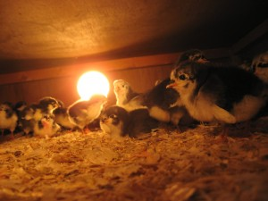 Chicks staying warm under an Ohio Brooder. Photos by Michael Glos.