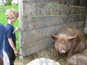 Shade shelters for pigs at Tangletown Farm in West Glover, VT. Photo by Tangletown Farm