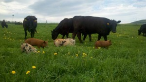 Pigs and cows graze together at Tangletown Farm. Photo by Tangletown Farm