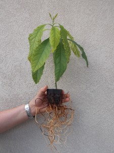 This is a 2-month old avocado tree grown in an Aquaponic system from an avocado nut. Again, notice the healthy root system. Avocados seem to love the Aquaponics environment.