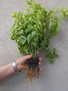 The healthy root system shown here was established in my experimental aquaponic system in just 30 days from a 4 inch starter basil plant.