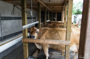 6 Jersey Cows produce about 200 gallons of milk per week.