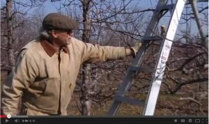 Ian Merwin demonstrating apple tree pruning.