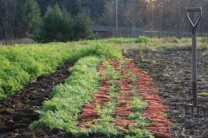 2014 carrots