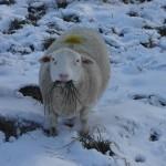 A Dorper Sheep poses for the camera at White Clover Sheep Farm.