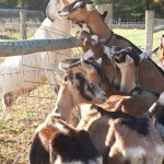 The height of the goat breeding season at Tending Goats and Hopes Farm in Au Sable Forks, NY