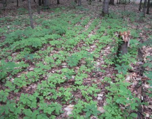 An established patch of intensive woods cultivated ginseng.