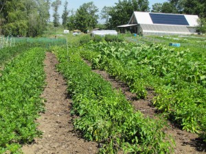 Weed-free permanent beds and walkways. Note solar array on barn in background. Photo by Brian Caldwell.