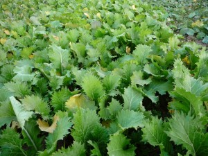 A turnip cover crop in the fall makes a solid cover with a lot of succulent high-protein leaves.