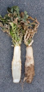 Radishes in December look alive but are doomed. Even though there many green leaves, the aboveground part of the radish is already pithy and dry, and the below ground part fully waterlogged.