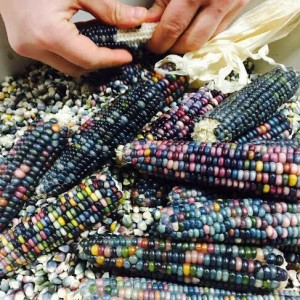 Corn: Delicious diversity! Saturday's supper will highlight combinations of the Indigenous 'Three Sisters' of corn, beans & squash.