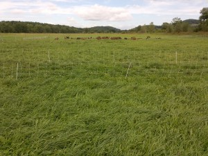 With technical and financial assistance from USDA-NRCS, 195-acres of cornfields were planted to grass to provide a healthy and sustainable forage source for the health of the goats which provide milk for the cheese.