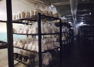 Bags of mycelia-filled substrate are close to fruiting in Mycopolitan Mushroom Company's subterranean grow room: a high tunnel with humidity control.