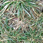 Results of Snow Mold on Plants