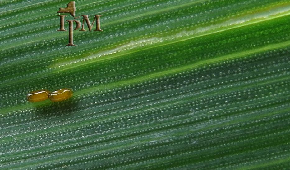 Cereal Leaf Beetle Eggs
