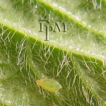 Soybean aphids