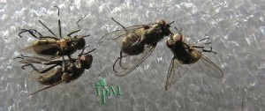 Stable flies