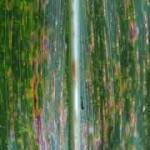 Northern Corn Leaf Spot