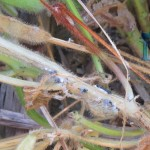 White mold and sclerotia on soybeans