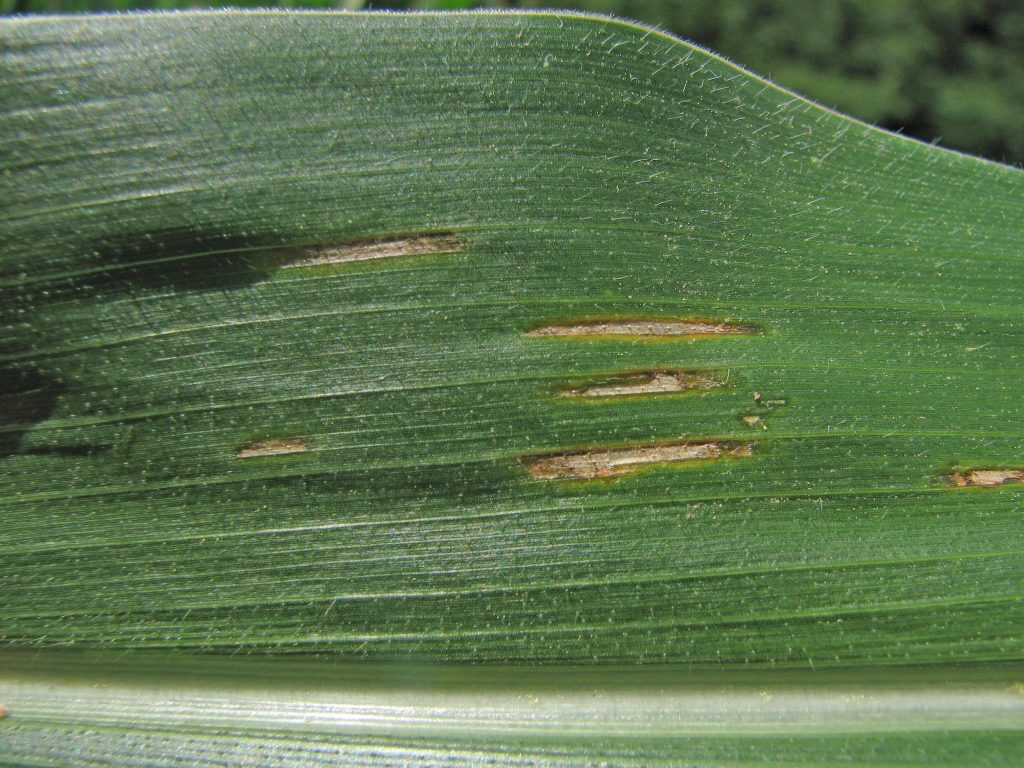 Gray Leaf spot on Corn