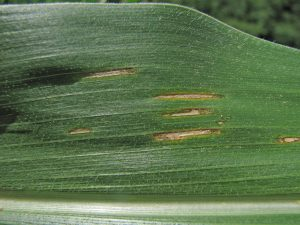 Gray Leafspot on Corn