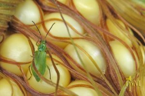 This is a photo of northern corn rootworm