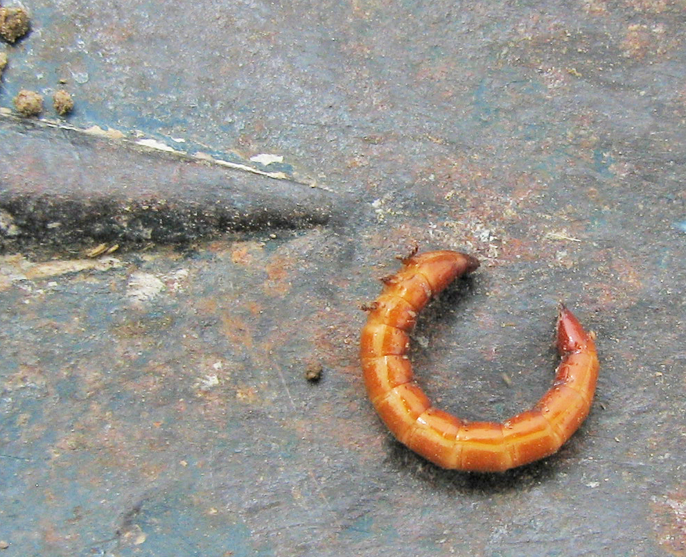 this is a photo of wireworm