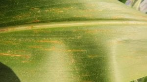 Northern Corn Leaf Spot