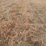 no-till burn down with weedy grasses
