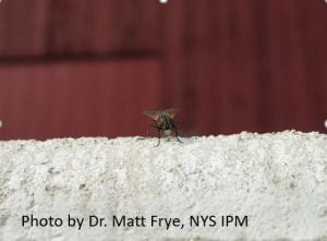 House Fly Adult