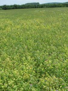 Potato leafhopper damage-yellowing