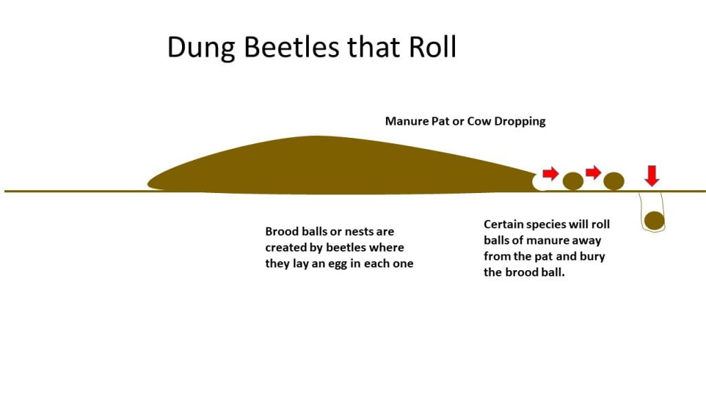 Dung Beetle-Rollers