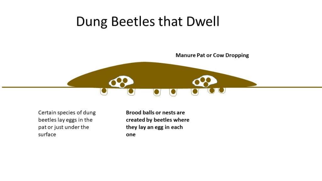 Dung Beetle-Dwellers