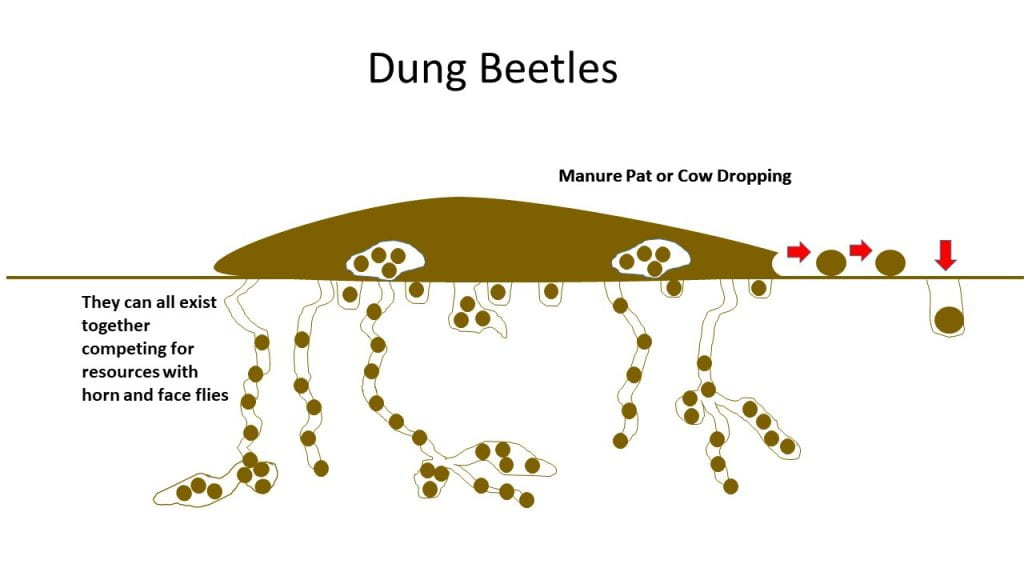 Combined species of dung beetle movement of manure