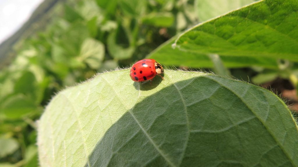 This is a photo of a photo of a Asian Multi-Colored Lady Beetle