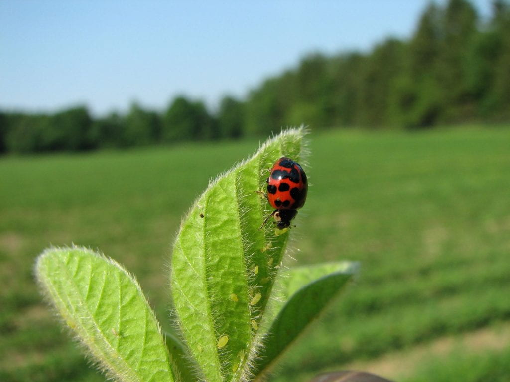 This is a photo of the multi-colored lady beetle feeding on soybean aphids
