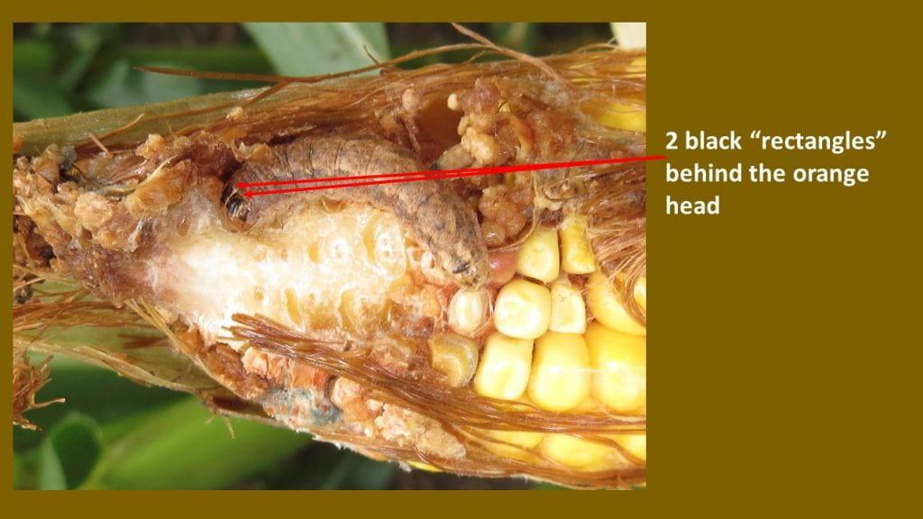 This is a photo of western Bean Cutworm larvae feeding a ear of corn