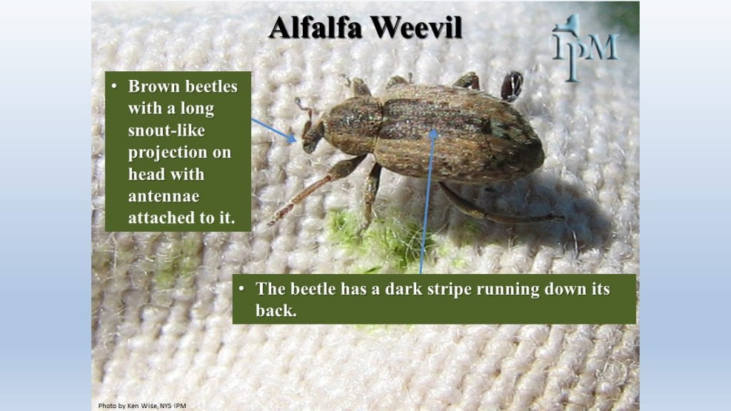 This is a photo of alfalfa weevil. They have a snout and a dark strip down their back
