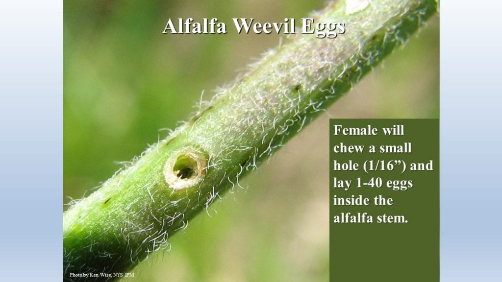 This is a photo of the hole alfalfa weevil chew a hole in a stem to lay eggs.