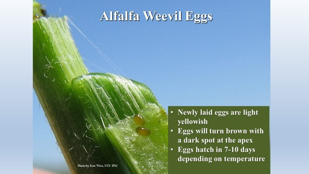 This is a photo of alfalfa weevil eggs.